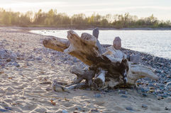 Baumstumpf auf felsigem Ostseestrand Lizenzfreie Stockfotografie
