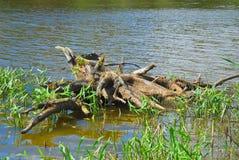 Baumstumpf, der aus dem Wasser heraus haftet Stockbilder