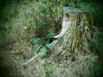 Baumstumpf in einem wilden und romantischen forrest stockbilder
