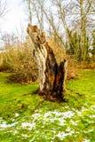 Baumstumpf eines Baums, der durch einen Blitzschlag in Campbell Valley Park abgerissen wurde Lizenzfreie Stockfotografie