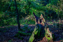 Baumstumpf im Holz Lizenzfreie Stockfotografie