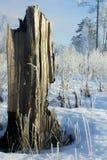 Baumstumpf im Winterwald Stockbild
