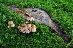 Baumstumpf umgeben durch Pilze Stockfotografie