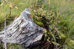 Baumstumpfleben Lizenzfreies Stockbild