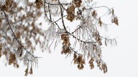 Baumtanne mit Niederlassung Eisiger Baumast mit Schnee im Winter Stockbilder