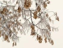 Baumtanne mit Niederlassung Eisiger Baumast mit Schnee im Winter Lizenzfreie Stockfotos