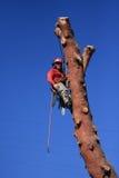 Baumtrimmer, der an der Kiefer hängt Lizenzfreies Stockbild