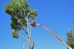 Baumtrimmer, welche die Niederlassungen hoch oben in einem Eukalyptusbaum prunning sind Lizenzfreie Stockfotografie