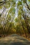 Baumtunnel von den Bäumen Gummi Stockfoto