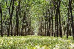 Baumtunnel von Gummibäumen lizenzfreies stockfoto