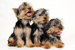 Baumwelpen Yorkshire-Terrier Stockfotografie
