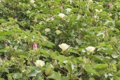 Baumwollblume, Baumwollstrauch, Baumwollknospe Lizenzfreies Stockbild