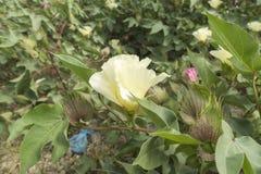 Baumwollblume, Baumwollstrauch, Baumwollknospe Stockfoto