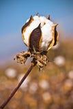 Baumwollblumennahaufnahme Stockfotos