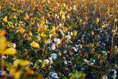 Baumwolle-Feld bereit zur Ernte bei Sonnenaufgang! (Große Datei) stockbilder