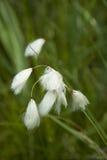 Baumwolle-Gras Stockfoto