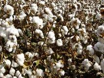 Baumwolle im rohen Stockfotografie