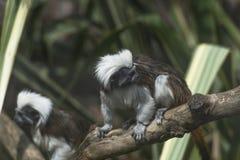 Baumwolle-köpfiger Tamarin (Saguinus Ödipus) Stockfotografie