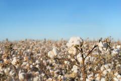 Baumwollernte, die auf dem Gebiet blüht lizenzfreies stockbild
