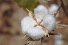 Baumwollernte Fleure Dans le Lanscape in Afrika lizenzfreie stockbilder