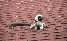 Baumwollespitzentamarin, der auf Dachspitze sitzt Lizenzfreies Stockfoto