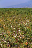 Baumwollfeld mit einem Berg Lizenzfreie Stockfotografie