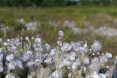 Baumwollgras im Sumpf Lizenzfreie Stockfotos