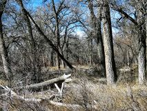Baumwollholz Forest In Southern Colorado Lizenzfreie Stockbilder