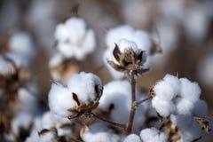 Baumwollkugel Stockbild