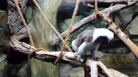 Baumwollspitzenweinstein sitzt auf Niederlassung im Affen stock footage