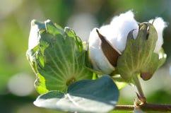 Baumwollstrauch-Nahaufnahme mit Details für runde Samenkapseln stockbild