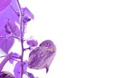 Baumwollstrauch Baumwollstrauch wächst Violetter Effekt Blätter mit Tropfen des Wassers lizenzfreies stockbild