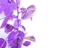 Baumwollstrauch Baumwollstrauch wächst Violetter Effekt Blätter mit Tropfen des Wassers stockbilder