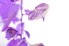 Baumwollstrauch Baumwollstrauch wächst Violetter Effekt Blätter mit Tropfen des Wassers lizenzfreie stockfotos