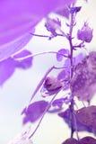Baumwollstrauch Baumwollstrauch wächst Violetter Effekt Blätter mit Tropfen des Wassers stockbild