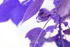 Baumwollstrauch Baumwollstrauch wächst Violetter Effekt Blätter mit Tropfen des Wassers stockfoto