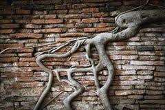 Baumwurzel in der Backsteinmauer Lizenzfreies Stockbild