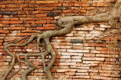 Baumwurzel, die alte Backsteinmauer in Wat Mahathat, Ayutthaya bedeckt Stockfoto