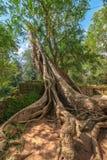 Baumwurzel mit klarem blauem Himmel, Tempelruinen Ta Prohm, Angkor, Ca stockfotografie