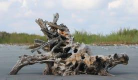 Baumwurzel South Carolina lizenzfreies stockfoto