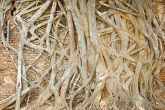 Baumwurzel, welche die alte Backsteinmauer im Tempel, Thailand bedeckt Lizenzfreie Stockfotos