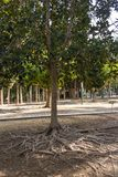 Baumwurzeln auf der Oberfläche des Bodens lizenzfreies stockbild