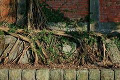 Baumwurzeln auf Wand Stockfotografie