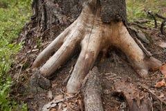 Baumwurzeln, die wie eine Hand aussehen Stockfoto