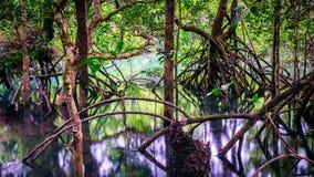 Baumwurzeln im Kap-Drangsalsregenwald lizenzfreie stockfotografie