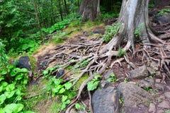 Baumwurzeln im Wald Stockbild