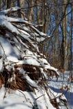 Baumwurzeln umfasst mit Schnee Stockfoto
