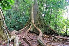 Baumwurzelstrebepfeiler und tropischer Waldboden Lizenzfreies Stockfoto