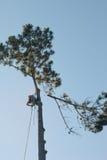 Baumzüchter steigt hohe Kiefer Lizenzfreie Stockfotos