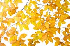 Baumzweig mit Blättern Lizenzfreies Stockbild
